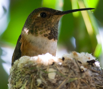 Allens kolibrie