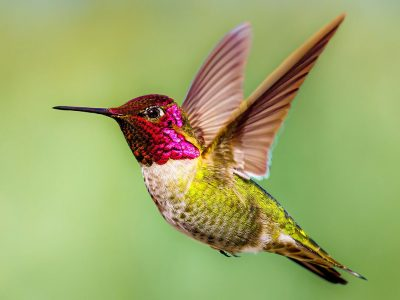 Anna's kolibrie (4)