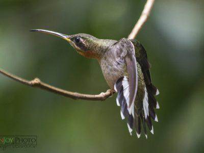 bandstaartbaardkolibrie (3)