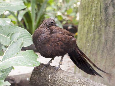 Sumatraanse pauwfazant (4)