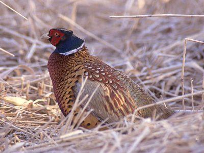 gewone fazant (6)