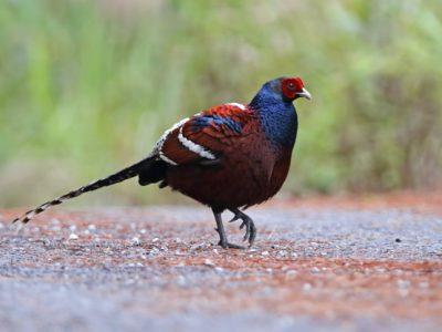 hume's fazant (3)