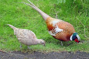 hoendervogels 3