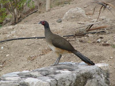 Westmexicaanse chachalaca