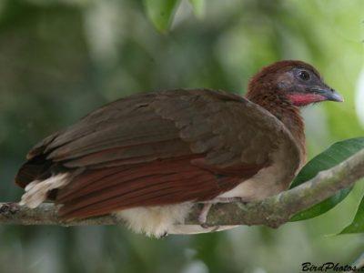roodvleugelchachalaca