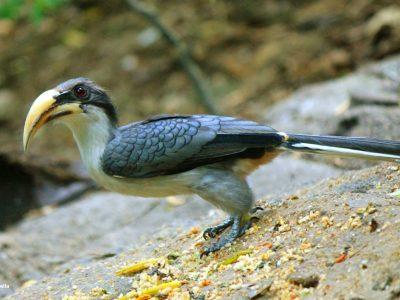 Ceylonese tok