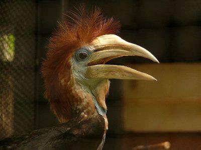 geelhelmneushoornvogel