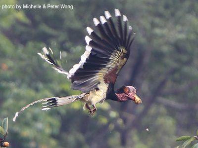 helmneushoornvogel