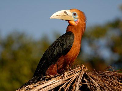 himalaya-jaarvogel