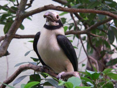 luzonneushoornvogel