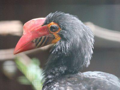 mindanaoneushoornvogel