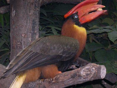 rosse neushoornvogel