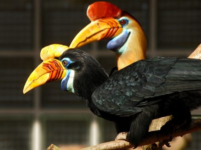 sulawesi-jaarvogel
