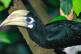 sulu-neushoornvogel