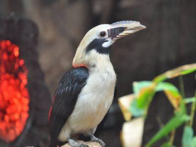 visayasneushoornvogel