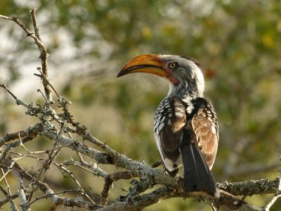 zuidelijke geelsnaveltok