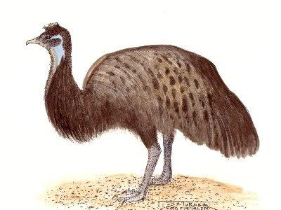 Kangoeroe-eiland emoe