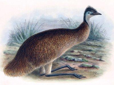 Tasmaanse emoe