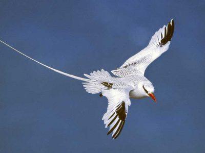 roodsnavelkeerkringvogel (4)
