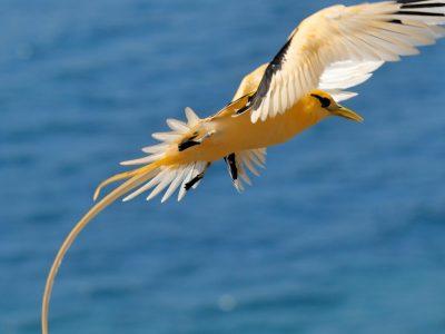witstaartkeerkringvogel (1)