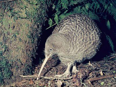 grote gevlekte kiwi (1)