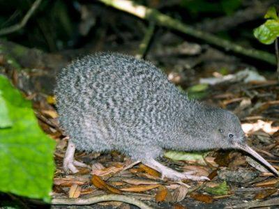 kleine gevlekte kiwi (1)