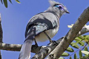 koekoeksvogels 1