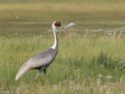witnekkraanvogel