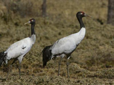 zwarthalskraanvogel