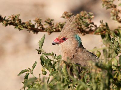 blauwnekmuisvogel (1)