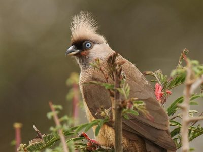 bruine muisvogel (4)