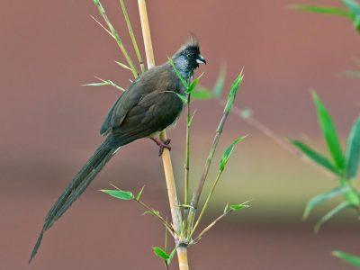 roodstuitmuisvogel (2)