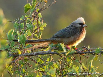 witkopmuisvogel (5)
