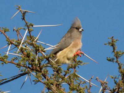 witstuitmuisvogel (2)