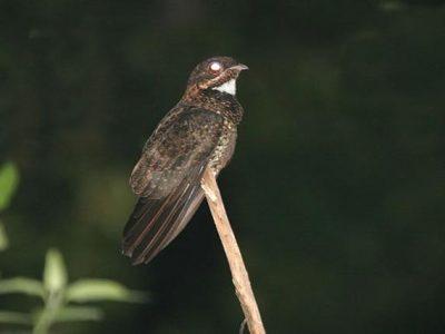 Bonapartes nachtzwaluw