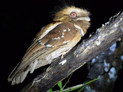 Filipijnse kikkerbek