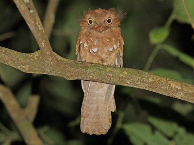 Javaanse kikkerbek
