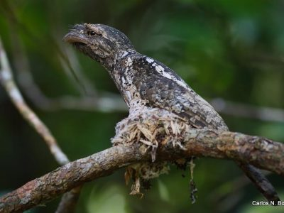 Maleise kikkerbek