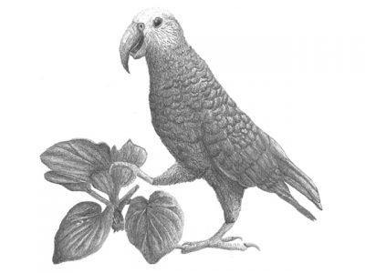 Chatham-eilandkaka