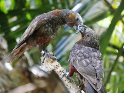 Nieuw-Zeelandse papegaaien