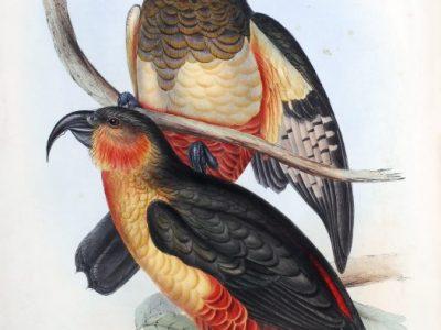 Norfolk-eilandkaka