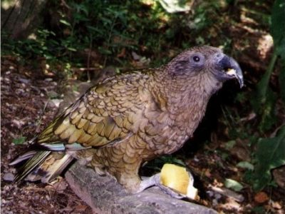 kakapo (2)