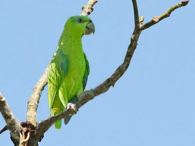 echte papegaaien
