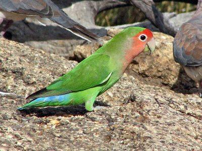 papegaaiachtigen 3