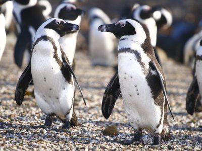 Afrikaanse pinguin (1)
