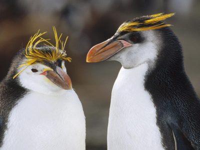 schlegels pinguin (3)