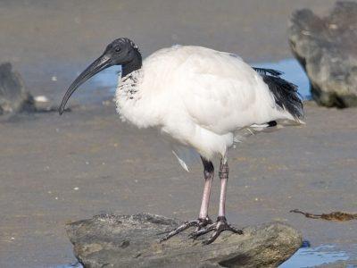 Australische ibis (4)