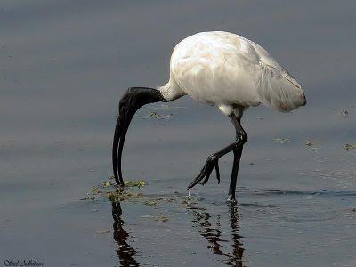 Indische witte ibis (3)