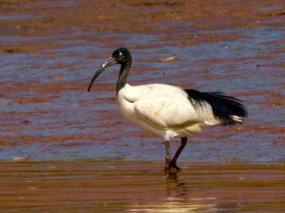 Madagaskar witte ibis (4)