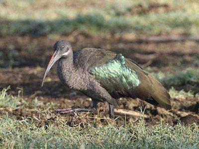 geschubde ibis (4)